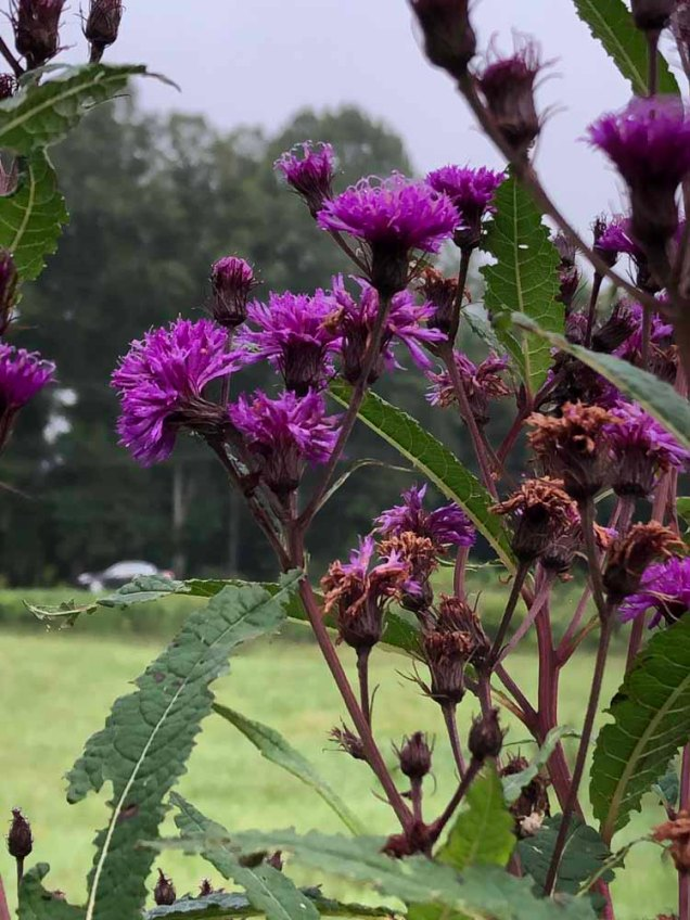 New York Ironweed (Vernonia noveboracensis)