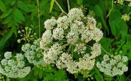 Water Hemlock (Cicuta maculata) Bloom
