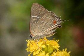 White M Hairstreak Butterfly (Parrhasius m-album)