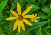 Woodland Sunflower (Helianthus divaricatus) Bloom