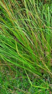 Wool Grass (Scirpus cyperinus) Leaf