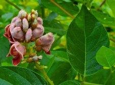 Groundnut (Apios americana) Bloom