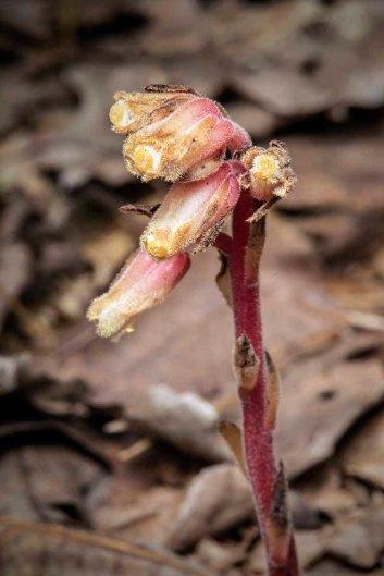 Pinesap (Monotropa hypopitys)