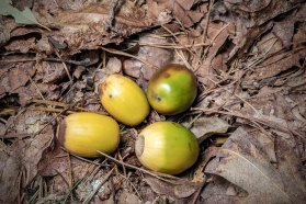 Chestnut Oak (Quercus montana)