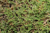 Ciliate Hedwigia Moss (Hedwigia ciliata)