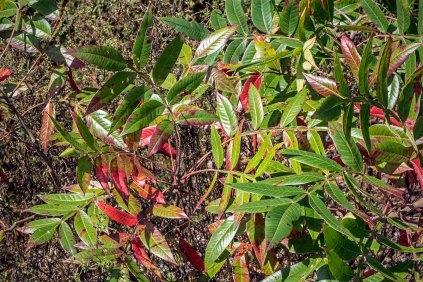 Winged Sumac (Rhus copallina)