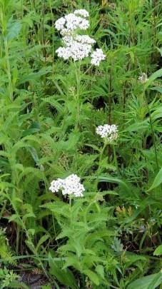 Achillea millefolium* (Yarrow) Plant