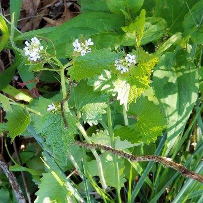 Alliaria petiolata* (Garlic Mustard)