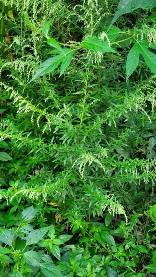 Artemisia vulgaris* (Mugwort) Plant