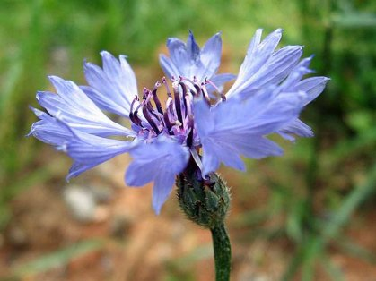 Centaurea cyanus* (Bachelor's Button; Cornflower)