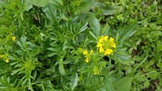 Barbarea verna* (Early Winter Cress)