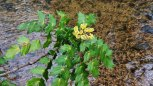 Berberis bealei* (Oregon Grape; Beale's barberry)
