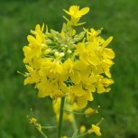 Brassica rapa* (Field Mustard)