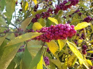 Callicarpa americana (American Beautyberry) 2