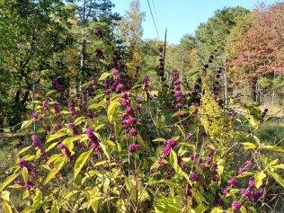 Callicarpa americana (American Beautyberry) 3
