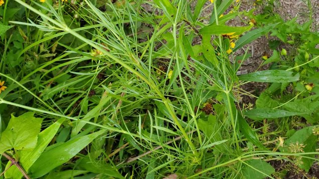 Coreopsis tinctoria* (Calliopsis) Leaves