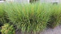 Miscanthus sinensis* (Chinese Silvergrass) Plant