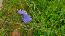 Cichorium intybus* (Chicory; Blue Sailors)