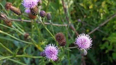 Cirsium arvense* (Canada Thistle)