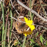 Common Buckeye Butterfly (Junonia coenia) & Coreopsis grandiflora (Large-flowered Coreopsis)