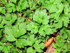 Ranunculus repens* (Creeping Buttercup)