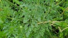 Daucus carota* (Queen Anne's Lace) Leaf