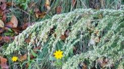 Dogfennel (Eupatorium capillifolium)