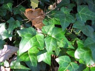 Hedera helix* (English ivy)