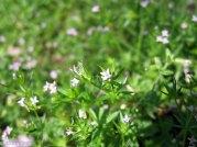 Sherardia arvensis* (Field Madder)