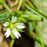 Cerastium arvense* (Field Mouse-ear)