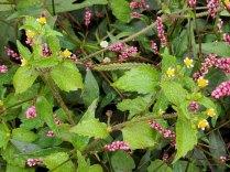 Galinsoga parviflora* (Lesser Peruvian Daisy) Plant