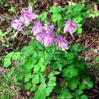 Aquilegia vulgaris* (Garden Columbine)