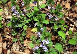 Glechoma hederacea* (Gill-over-the-Ground; Ground Ivy)