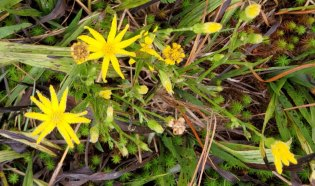 Grass-leaved Golden Aster (Pityopsis graminifolia)