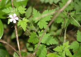 Herb Robert* (Geranium robertianum)