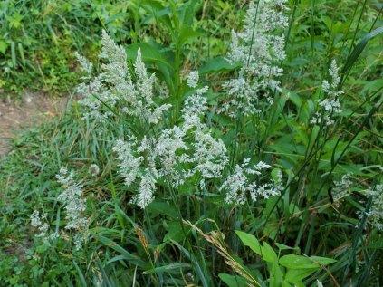 Holcus lanatus* (Velvet Grass) Flowers