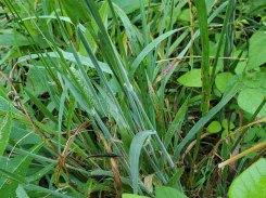 Holcus lanatus* (Velvet Grass) Leaves