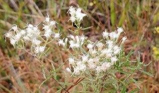 Hyssop-leaved Thoroughwort (Eupatorium hyssopifolium) Blooms