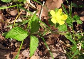 Duchesnea indica* (Indian Strawberry)