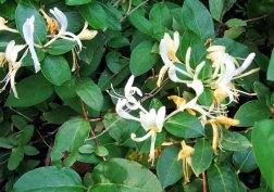 Lonicera japonica* (Japanese Honeysuckle)