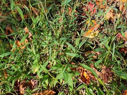 Microstegium vimineum* (Japanese Stiltgrass)