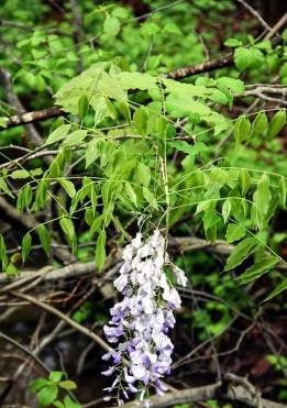 Wisteria floribunda* (Japanese Wisteria)