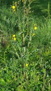 Lactuca serriola v. integrata* (Prickly Lettuce) Plant