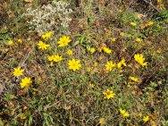 Coreopsis grandiflora (Large-flowered Coreopsis)