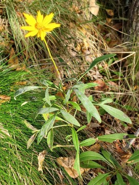 Coreopsis grandiflora (Large-flowered Coreopsis) Plant
