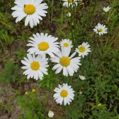 Leucanthemum vulgare* (Ox-eye Daisy) Bloom