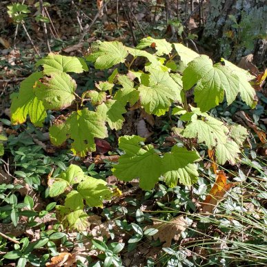 Viburnum acerifolium (Maple-leaved Viburnum)
