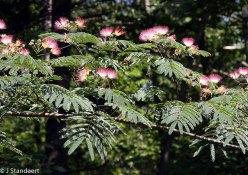 Albizia julibrissin * (Mimosa; Silk Tree)