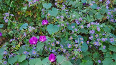 Morning Glories* and Asters