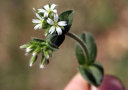 Cerastium fontanum* (Mouse-ear Chickweed)
